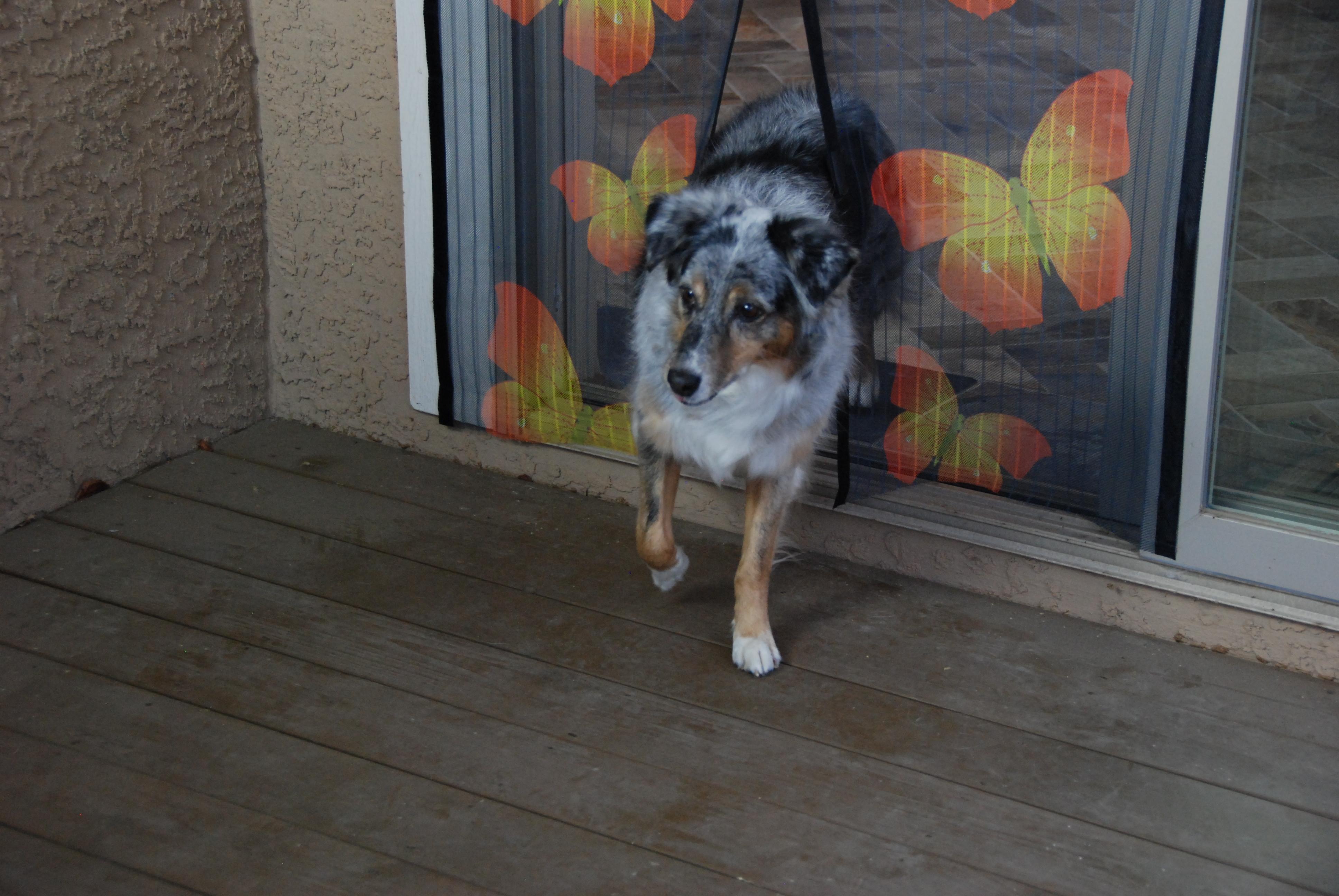 Собака пролазит через антикомариную шторку